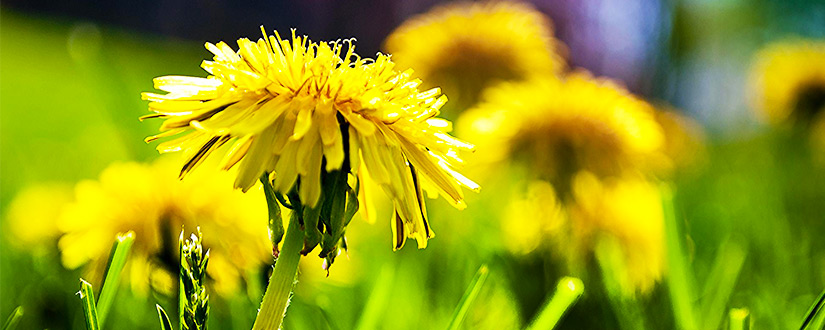 How To Get Rid Of Dandelions?