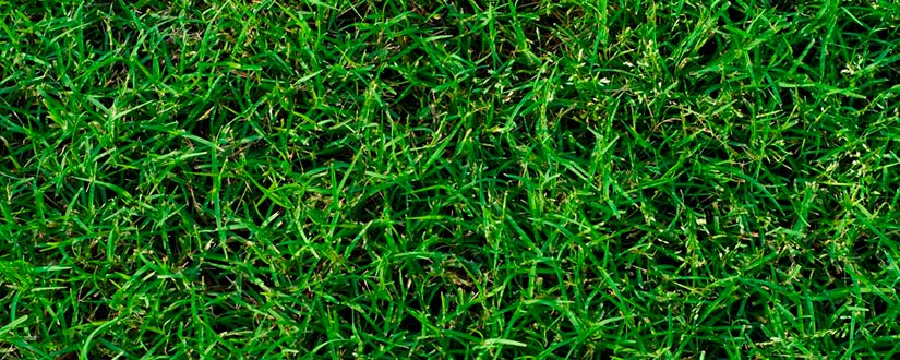 Quick Guide on Bermuda Grass vs St. Augustine Grass