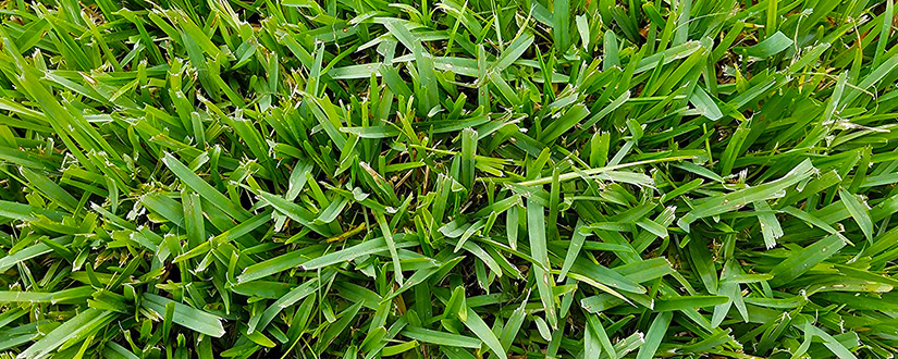 Learn How to Dethatching St. Augustine Grass
